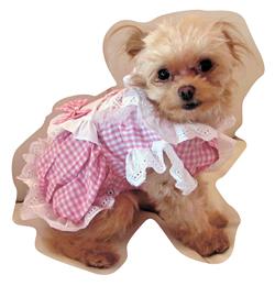 看板犬の「ちゃちゃ。」君。フリフリの洋服がお似合い