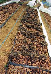 原木マイタケ。ホイル焼き、てんぷら、ご飯、炒め物など、何でも美味