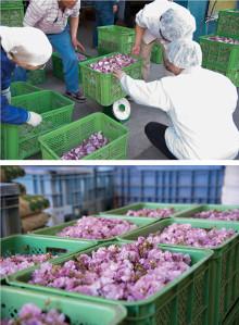 お祝いを彩る桜の塩漬け〜松川町