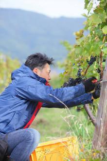 ワイン用ブドウの収穫時期