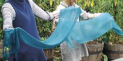 8月は「藍の生葉染めワークショップ」を開催